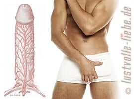 Penis – Anatomie, Aufbau, Funktion, Wirkungsweise